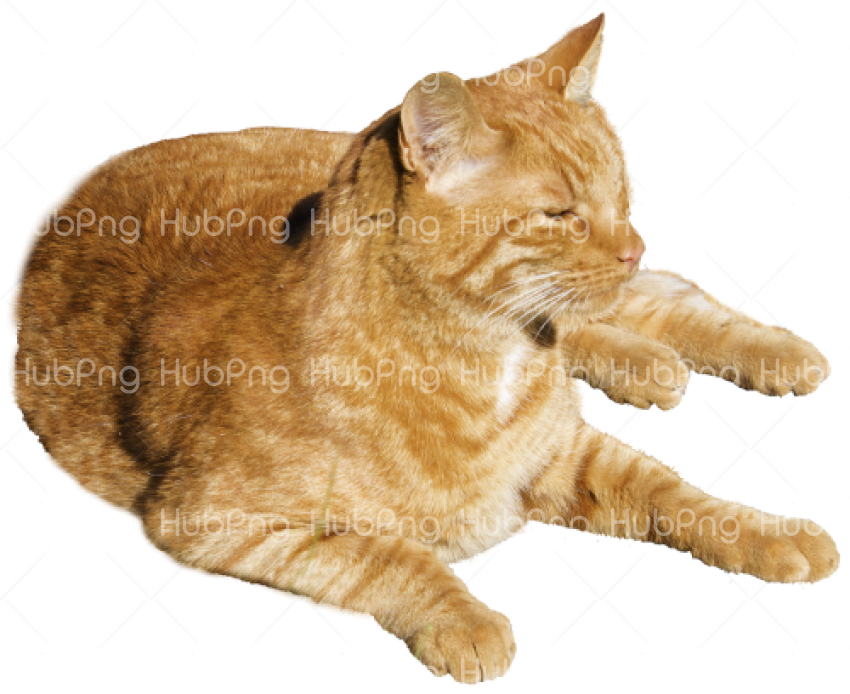 cat brown png Transparent Background Image for Free