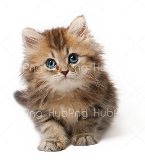 cat face transparent background Transparent Background Image for Free