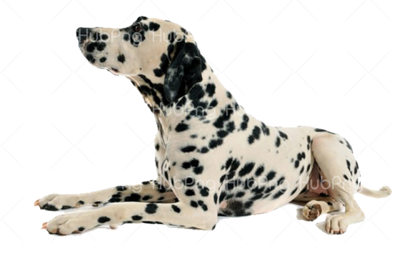 dalmatian dog png Transparent Background Image for Free