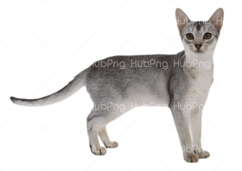 free cat png Transparent Background Image for Free