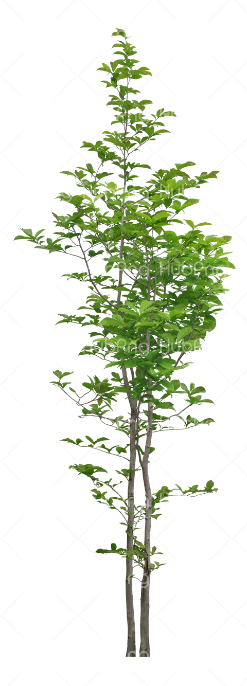 green tree plant png Transparent Background Image for Free