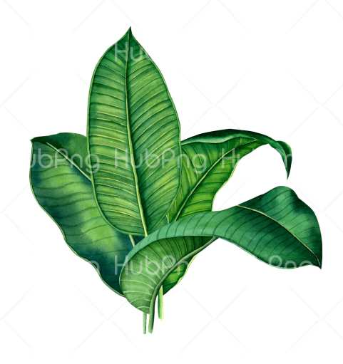 leaf png hd Transparent Background Image for Free
