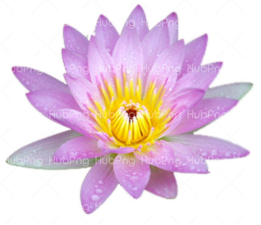 lotus flower PNG Transparent Background Image for Free