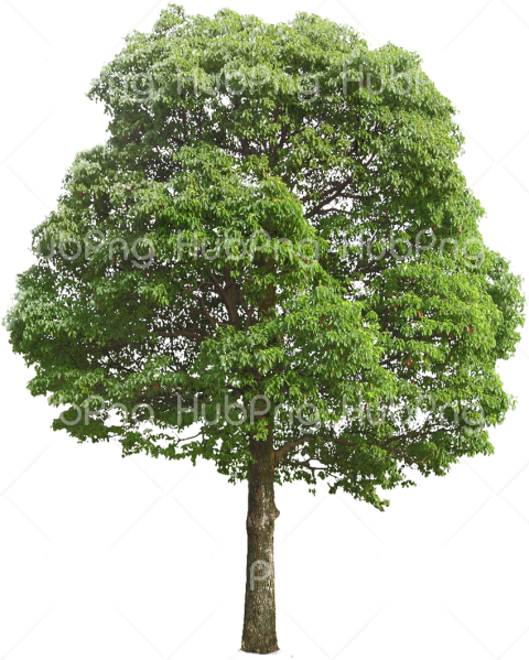 png tree Transparent Background Image for Free
