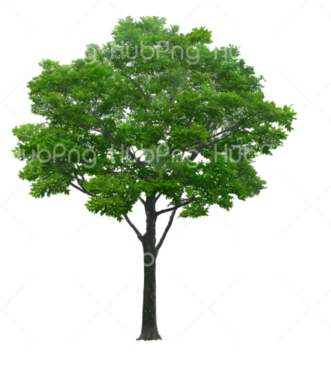 pohon png Transparent Background Image for Free