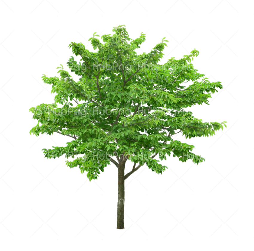 pohon png hd Transparent Background Image for Free
