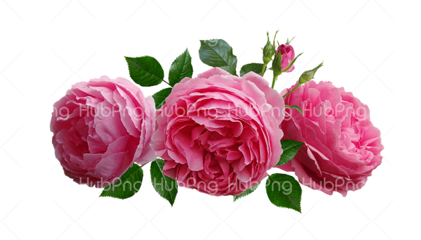 rosas png Transparent Background Image for Free