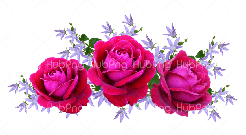 rosas png hd Transparent Background Image for Free