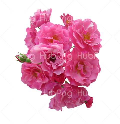 rosas png pink hd Transparent Background Image for Free