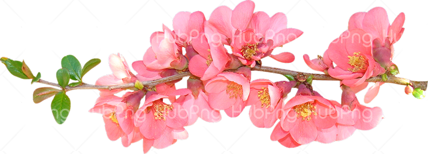 Spring Flower PNG Photos with transparent background Transparent Background Image for Free