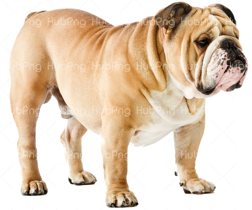strong dog png Transparent Background Image for Free