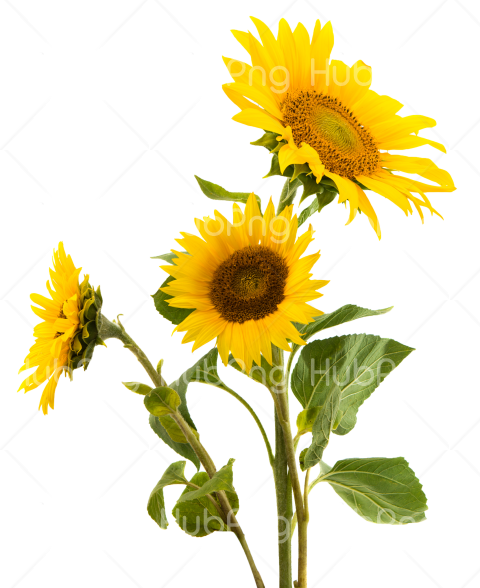 sunflower png gluten snack Transparent Background Image for Free