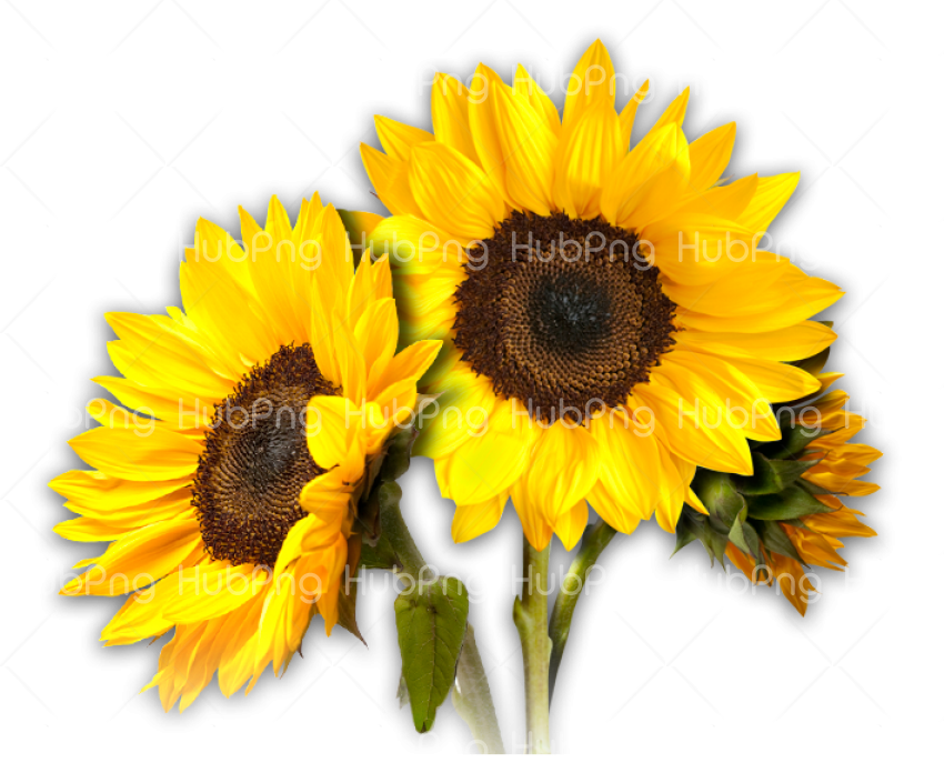 sunflower png hd Transparent Background Image for Free