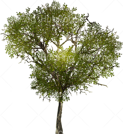 tree png spring Transparent Background Image for Free