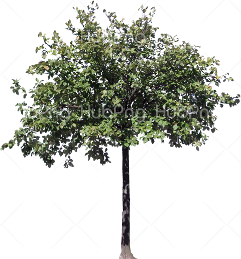 trees png hd деревья Transparent Background Image for Free