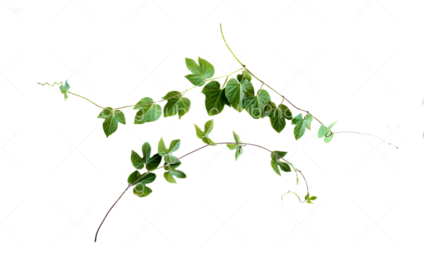 vines png great Transparent Background Image for Free