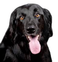 amazing black dog png