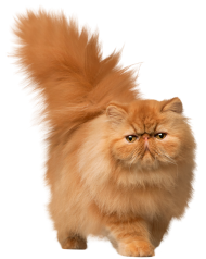 beautiful cat png