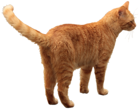 brown cat png