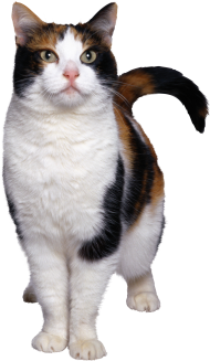 cat png transparent
