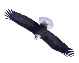 eagle png flying