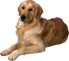 golden dog png