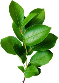 leaves png brunch tree green color hd