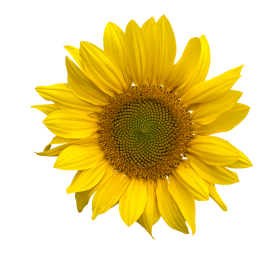 png sunflower