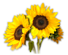 sunflower png hd