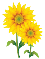 sunflower png vector